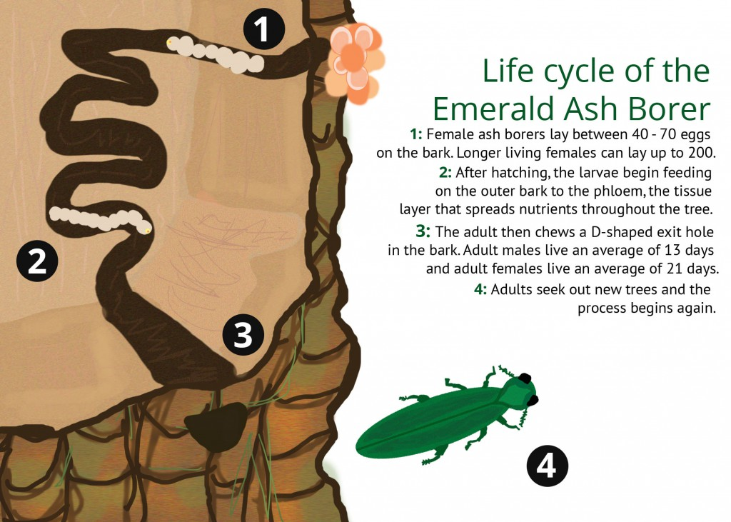 Emerald Ash Borers go through a complete metamorphosis during their life cycle.