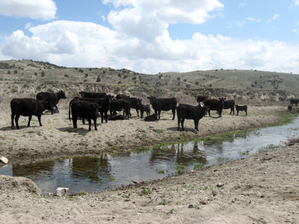 Cattle occupy a water gap on BLM land near Susie Creek. Water gaps grant livestock restricted access to part of a creek bed while protecting riparian habitat elsewhere.