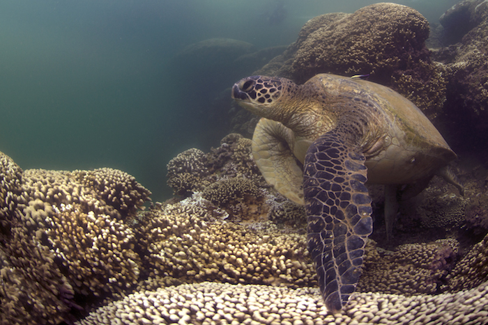 A green turtle swims in a bleached reef in Hawai`i. (XL Catlin Seaview Survey)