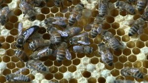 A swarm of Italian bees at the Sweet Beginnings' apiary in North Lawndale. The queen is the longer, black bee on the left. (Evan Garcia/Medill)