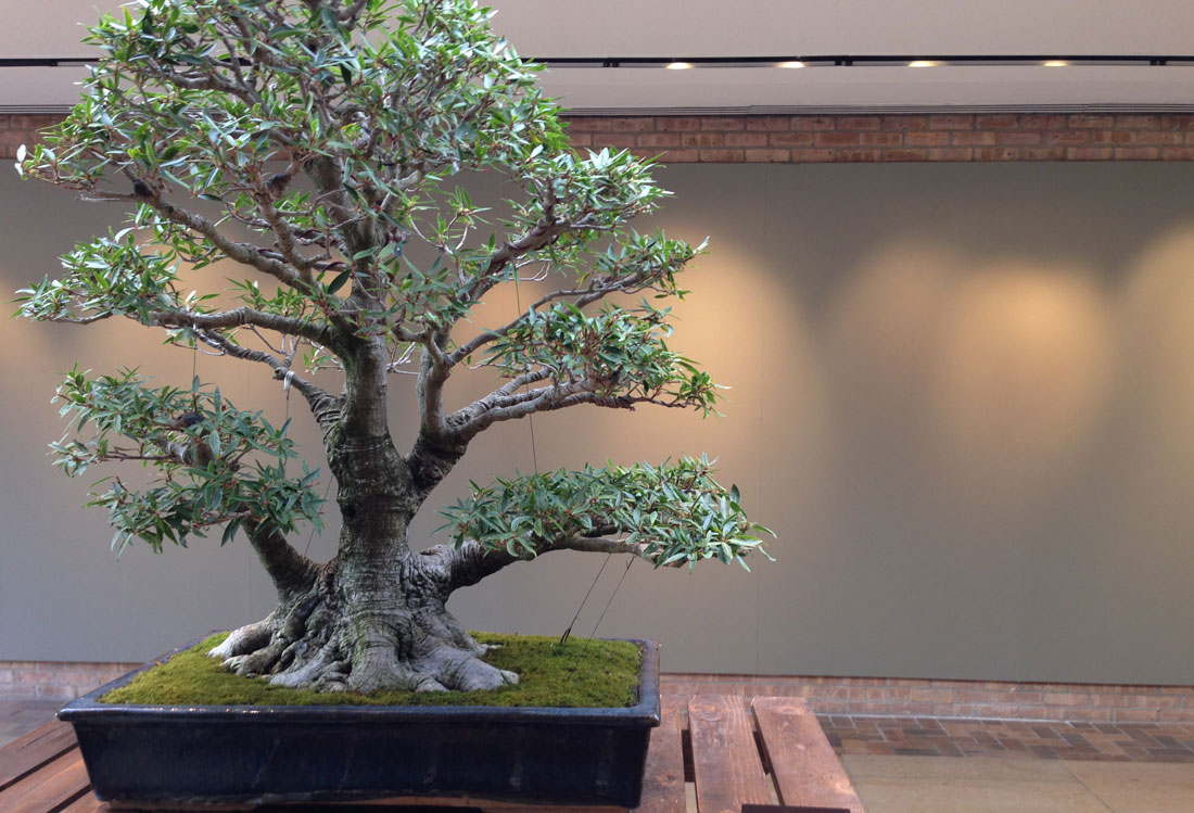 The Long And Very Short Of Bonsai Medill Reports Chicago