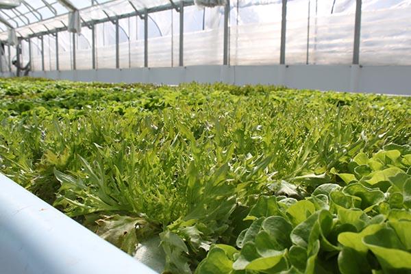 Urban Ag lettuce close