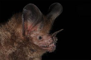 Close up of a fringe lipped bat. (Photo by Marco Tschapka)