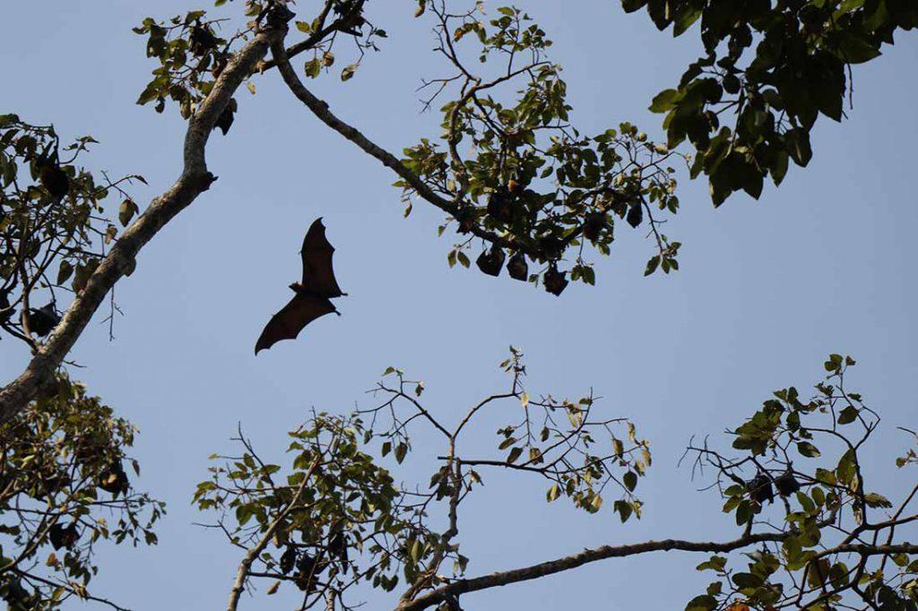 Bats in Cambodia